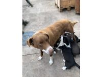 Collie/husky pups for sale