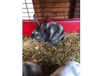 Baby Mini Rex Rabbits for sale. LAST 2 boys left