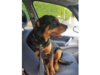 ***8 month old rottweiler for sale***