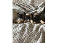 3 miniature pug x Pomeranian puppies