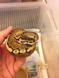 baby spider ball python