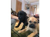 Beautiful mastiff puppies last 2 puppies