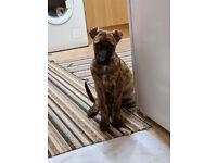 Buddy the Lurcher pup.
