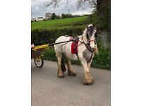 12.2hh ride and drive cob