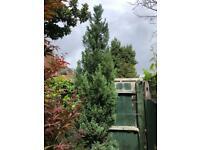 Large (2.8m) Leyland Cypress Pyramidalis - Tuscan Style Leylandii Tree / Shrub / Bush