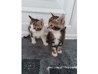 Tabby kittens & Black & white kittens