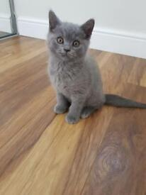 British long hair kittens for sale