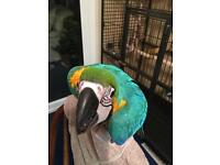 Hand tame Bluegold macaw babies for sale