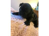 **1 GIRL LEFT** KC registered French Bulldog Puppies.
