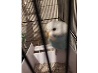 2 beautiful baby Taimed budgies & new cage and accesories