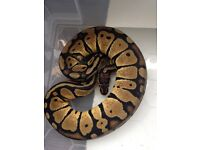 Cb16 Pastel male royal