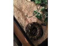 Monova ball python
