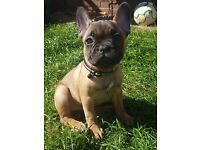 Female kc reg french bulldog pup