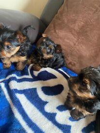3 Miniature Yorkshire terrier puppies