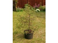 Real Christmas Tree in large Black Plastic Plant / Flower Pot / Planter / Container
