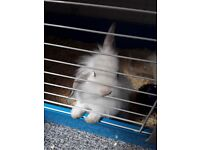 Two female rabbits with indoor cage