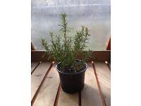 Rosemary 'Miss Jessopp's Upright'