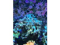 Large stylopora green spa lps soft coral reef marine