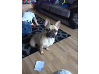 Kc reg female french bulldog