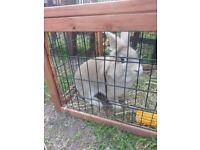 7 month old male lionhead rabbit