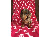 (Only 1 boy remaining) KC miniature dachshund puppies