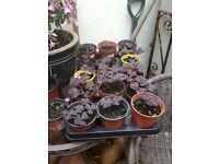 oxalis plants