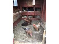 Free range chicken and hens and roosters