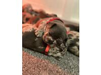 French Bulldog Puppies. Champion Bloodline only 3 left
