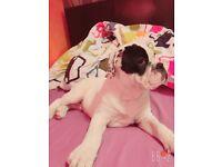 Dorset olde tyme english puppy xx