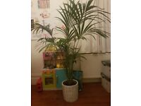 Large plant for office or large room. Sits in a really cool pot too. About 5ft high, and healthy.