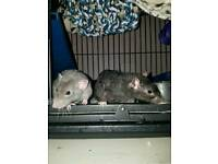 2 Male Rats + Cage