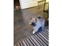 Puppy pure Pomeranian girl forsale
