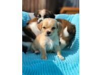 Corkie puppy (cocker spaniel cross Yorkshire terrier)