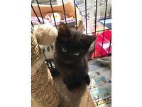 Lovely 10 week old female fluffy black/brown kitten