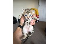 Bengal X Maine coon kittens FOR SALE