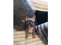 Reduced!!! Quality KC french bulldogs ready to go
