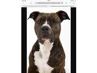Staffordshire bull terrier £150