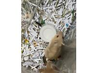 Russian hamsters