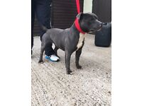 Male and female staffie for sale