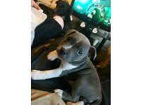 Little Sky (staffordshire bull terrier)
