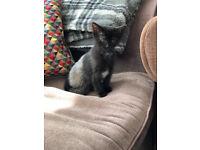 A beautiful kitten for sale