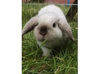 Two beautiful pure bred mini lop bunnies ready to go