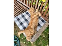 MALE GINGER CAT MISSING FROM GRAVESEND