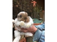 Mini lop bunnies for sale