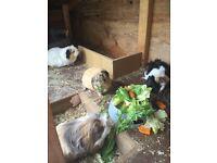 4 female Guinea pig - free to good home