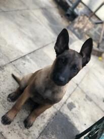 Beautiful kc registered malinoise puppy
