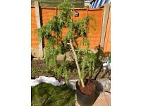Weeping Pine Large Bonsai Tree