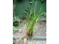 Pond iris's in a planter