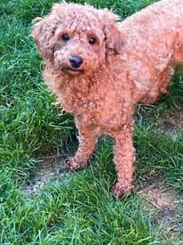Kc red girl toy poodle