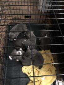 Blue staff pups